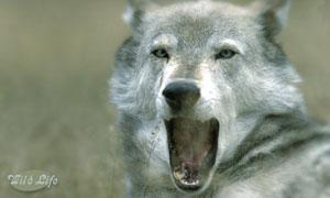 Carte Anniversaire Loup.Cartes Loups Virtuelles Gratuites Cybercartes Com