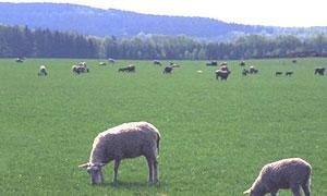 Moutons au pré