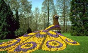 Paon en fleur