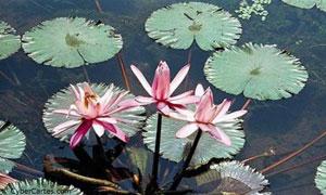 Nénuphar fleuri