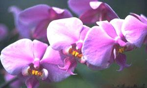 Orchidée parme