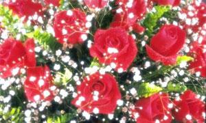 Rose et gypsophile