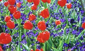 Tulipes et violettes