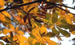 Branche de marronnier
