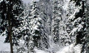 Sapins en hiver