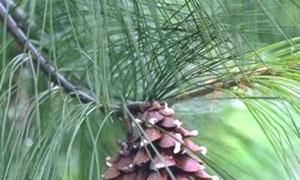 Branche de pin
