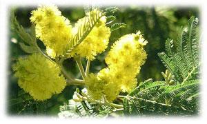 Une pluie de Mimosa