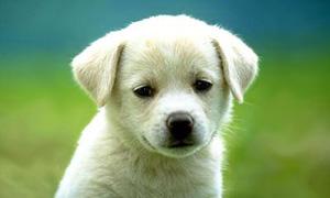 Le bébé Labrador