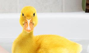 le canard dans son bain