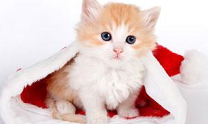 Chaton de Noël
