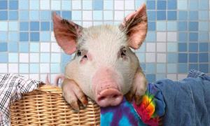 Piggy le cochon